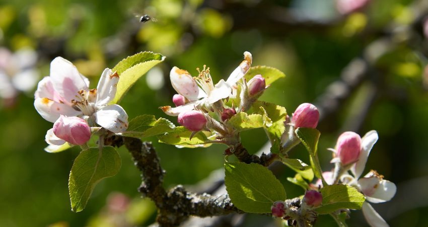streuobst, blüte, obstwiese, biotop,